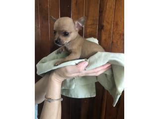 Precioso perrito chihuahua Puerto Rico