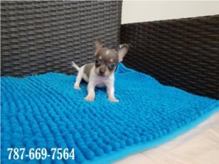 Chihuahua blue tricolor NENE  Puerto Rico
