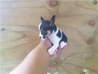 Chihuahua nene color pinto Puerto Rico
