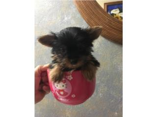 Yorkie toy puppy Puerto Rico