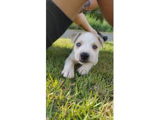 Puppies Shepsky Puerto Rico
