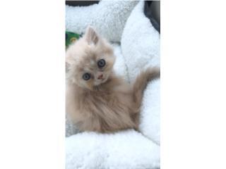 Puerto Rico Gato Persa $300 (Leer descripción; 2 meses), Perros Gatos y Caballos