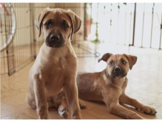 Puerto Rico ¡Se regala cachorro de 3.5 meses muy tierno!, Perros Gatos y Caballos