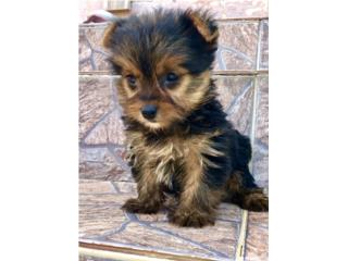 Puerto Rico Yorkie Toy Hembra , Perros Gatos y Caballos