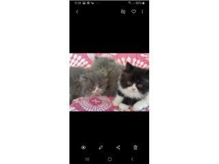Hermosos gatitos chatos Puerto Rico
