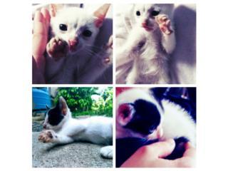 Dos gatitos acostumbrados a humanos Puerto Rico