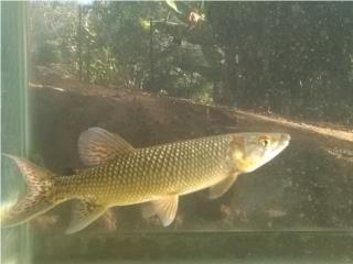 Monster fish river Puerto Rico