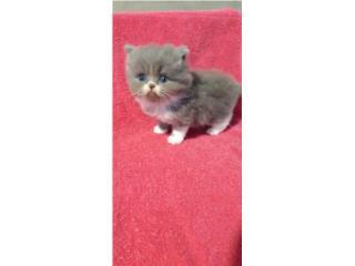 Hermoso gatito persa puro Puerto Rico
