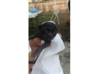 Adopción de gatito recién nacido  Puerto Rico