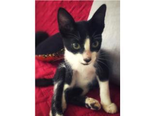 Gatito Macho de 4 meses para adopción! Puerto Rico