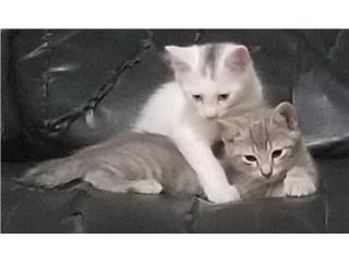 Gatitos blancos Puerto Rico