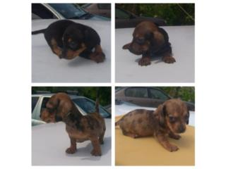 Puerto Rico Salchichas mini, Perros Gatos y Caballos