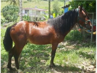 caballo zaino manso y bien saludable  Puerto Rico