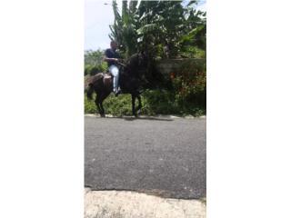 Hermoso caballo fino Puerto Rico