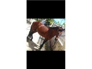 Se vende caballo  Puerto Rico