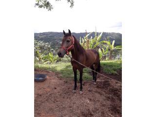 Hermoso caballo Bayo Enserao Puerto Rico