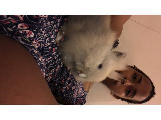 Precioso Conejo Leon Gratis para adopción Puerto Rico
