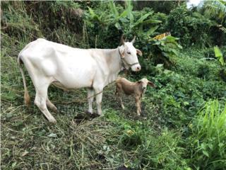 Vaca charbry con cría  Puerto Rico