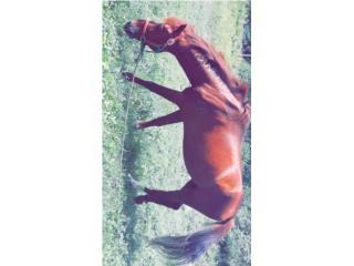Se vende caballo manso entero de paseo Puerto Rico