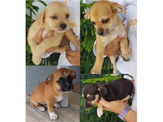 Puerto Rico Se regalan tiernos perritos 2 meses NO venta, Perros Gatos y Caballos