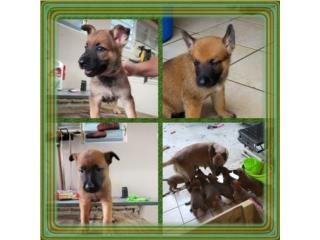 Puerto Rico PASTORES BELGA MALLINOIS (3 HEMBRAS $300 C/U), Perros Gatos y Caballos