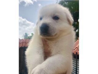 Puerto Rico GERMAN SHEPHERD WHITE AKC, Perros Gatos y Caballos