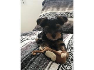 Puerto Rico Yorkie, Perros Gatos y Caballos