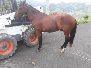 Se vende o cambia caballo Puerto Rico