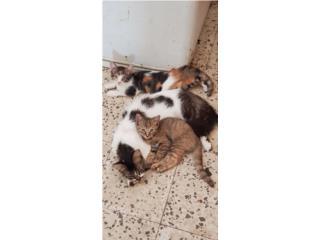 Se regalan dos gatos pequeños  Puerto Rico