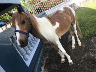Pony Pinto Puerto Rico