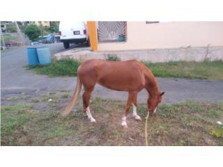 Hermosa potra 2 años y 7 meses Puerto Rico