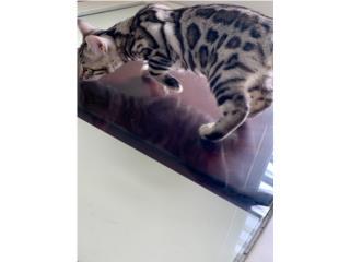 Bengal cats Puerto Rico