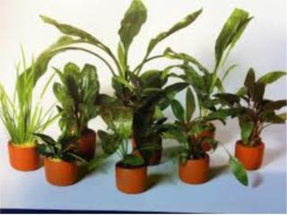 Plantas para estanques y peceras Puerto Rico