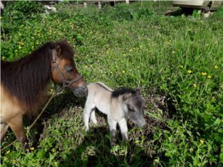 se vende pony bb Puerto Rico