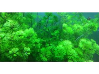 Plantas acuáticas de fácil cuidado Puerto Rico