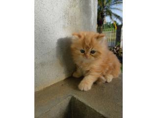 Hermoso gatito persa  Puerto Rico