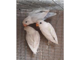 Love bird anillados finos Puerto Rico