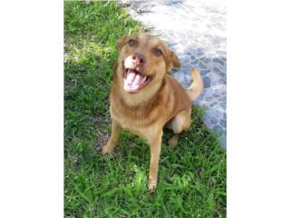 Perro (esterilizado)  Puerto Rico