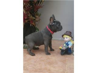 Puerto Rico French Bulldog Blue AKC, Perros Gatos y Caballos