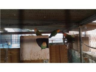 5 lovebirds Puerto Rico