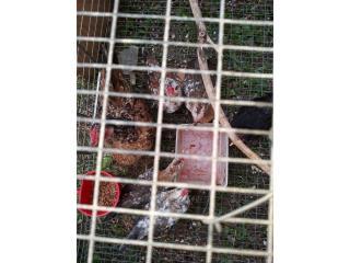 Se venden pareja de kikiriki de línea pinto   Puerto Rico