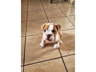 Puerto Rico Venta English Bulldog Macho, Perros Gatos y Caballos