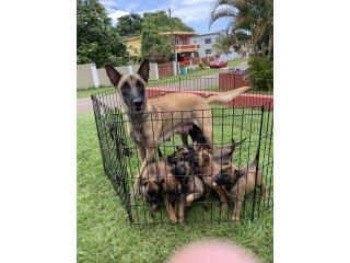 BELGIEAN MALINOIS, Mascotas Puerto Rico