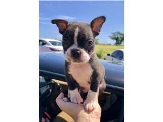 Boston Terrier De show , Mascotas Puerto Rico