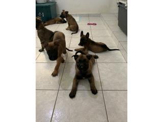 Puerto Rico BELGIAN MALINOIS, Perros Gatos y Caballos