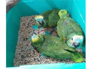 Puerto Rico Cotorra Amazonas Blue Front bebes., Perros Gatos y Caballos
