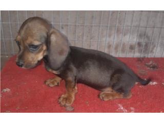 Puerto Rico Mini Salchicha Macho, Perros Gatos y Caballos