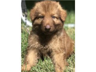 Puerto Rico German Shepherd liver AKC, Perros Gatos y Caballos