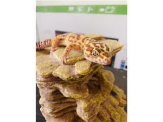 Geckos Puerto Rico