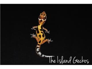 Leopard gecko bebes Puerto Rico